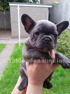 Bulldog francés para la adopción por favor póngase en
