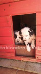Cachorros de dalmata pura raza