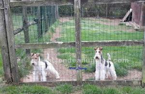 Cachorros fox terrier de pelo duro