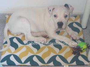 Se vende perro de raza con vacunas