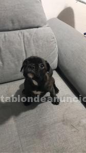 Se vende cachorrita de bulldog francés