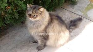 Regalo precioso gato raza bosque noruego,persa