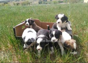 Se venden hembras border collie
