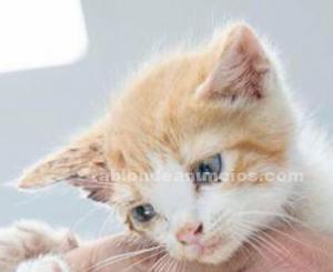 Tristan gatito en adopcion madrid toledo