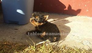 Ultimo cachorro yorkshire terrier mini