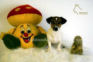 Cachorros jack russell tricolor