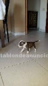 Cachorritos american staffordshire terrier