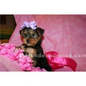 Regalo miniatura cachorros yorkshire terrier