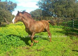 Cubricion con caballo pre alazán