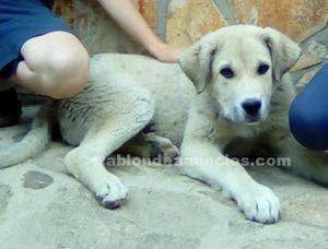 Cachorro mastin hembra