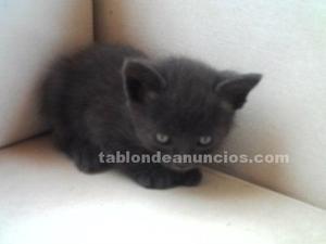 Gatitos azul ruso nacidos el 30 de mayo.