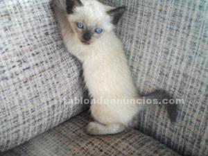 Gatitos siames o siameses nacidos el 30 de mayo.