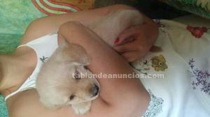 Se vende cachorro de labrador color crema