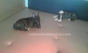 Bull terrier puros