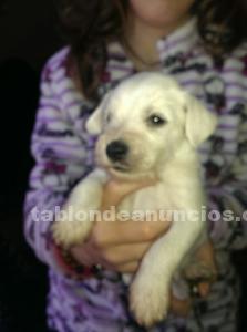 Cachorros schnauzer miniatura blanco