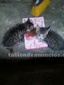 2 gatitos bebés mes y medio