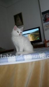Se vende gatito