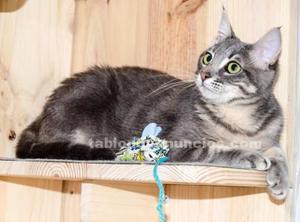 Gatita azul tabby joven en adopción