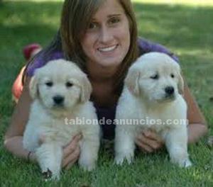 Regalo impresionate cachorros golden retriever