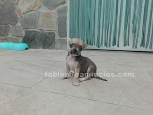 Se vende perritos chihuahuas