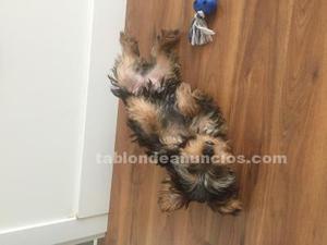 Yorkshire cachorro de 4 meses