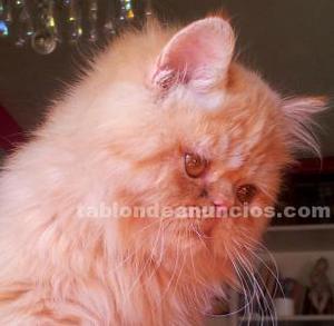 Encantador gatito persa main coon