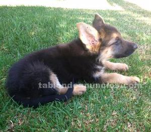 Se venden cachorros de pastor aleman