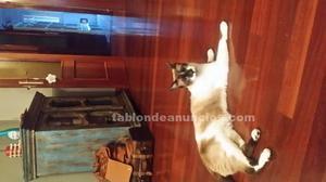 Regalo gato siamés precioso, muy cariñoso y juguetón