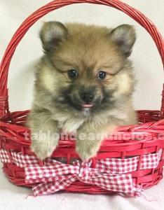 Pomerania toy...pareja preciosa