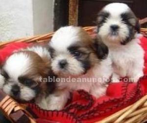 Shih-tzu preciosos cachorros