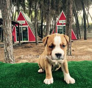 Cachorros de american staffordshire terrier