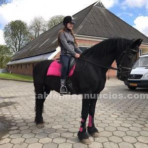 Dos magníficos caballos frisios disponibles !