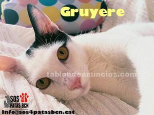 Gruyère es un gatito precioso y muy bueno. Busca familia