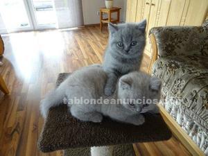 Preciosos gatitos british shorthair