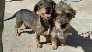 Se venden cachorros de teckel pura sangre