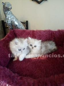Dos gatitos persas
