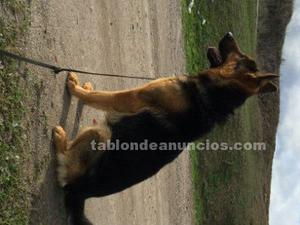 Cachorros de pastor aleman