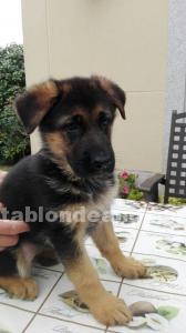 Vendo cachorro de pastor alemán