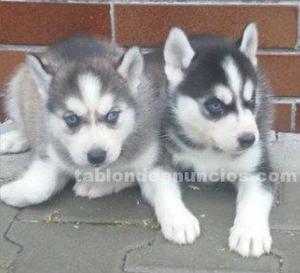Siberian husky, venta de cachorros,murcia