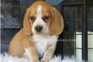 Cachorros de beagle tri-color