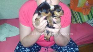 Se venden cachorritos de yorkshire