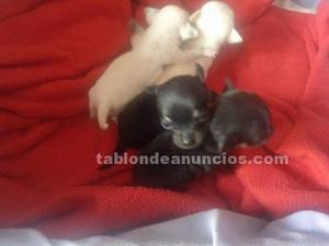 Chihuahuas minis urge