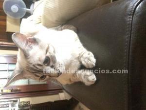 Regalo gato siamés