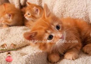 Regalo gatitos de angora