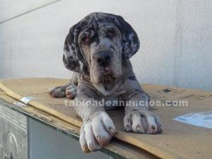 Cachorro dogo aleman merle