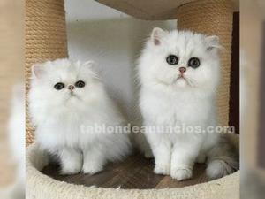 Regalo regalo gatitos persas