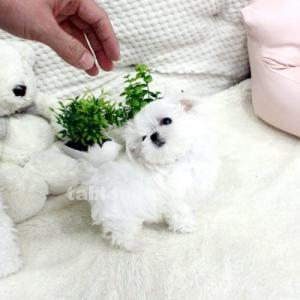Regalo cachorros de mini toy bichon maltes para adopcion.
