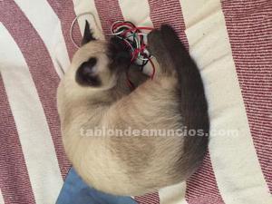 Regalo lindo gatito siamés