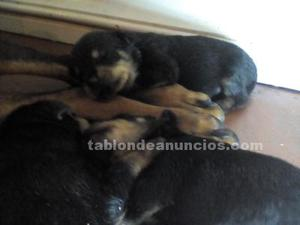 Se venden cachorros rottweilers