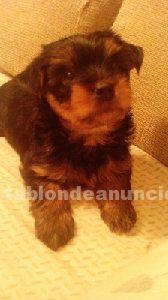 Cachorro de yorkshire hembra